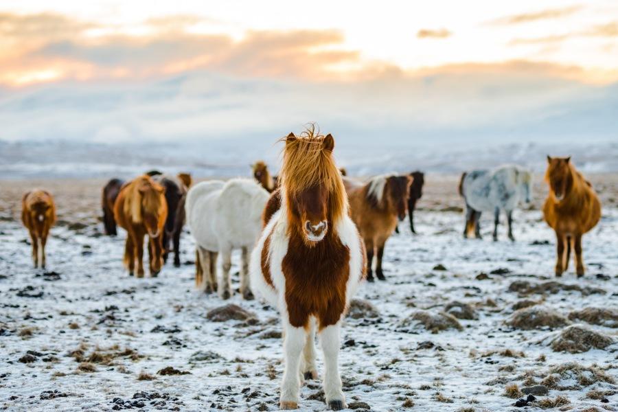 Iceland's Wild Horses